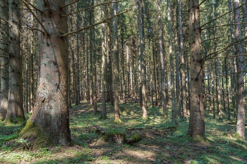 Uma floresta do pinho no Ardennes, Bélgica fotografia de stock royalty free