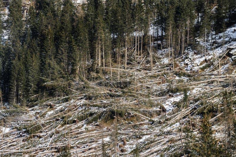 Uma floresta dos abetos golpeou fotografia de stock