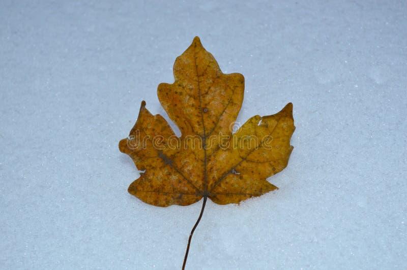 Uma folha amarela secada encontra-se na neve fotografia de stock royalty free