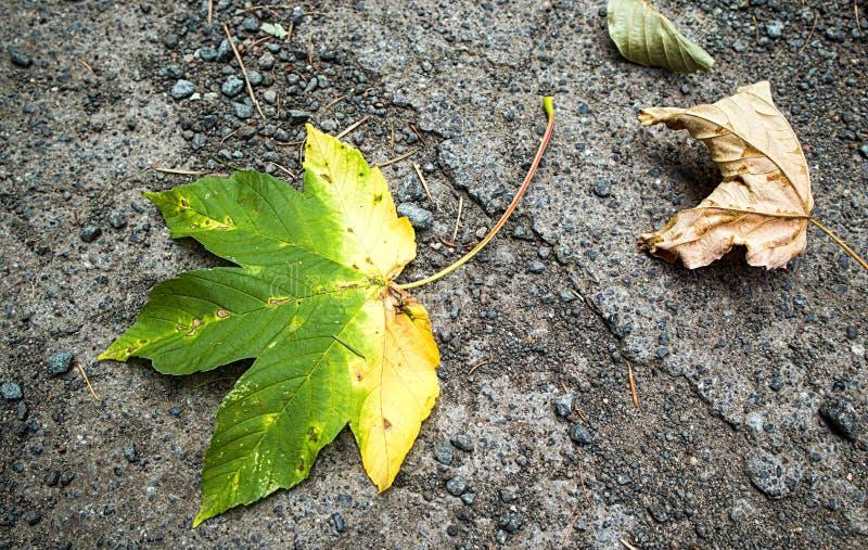 Uma folha de bordo metade-amarela outono fotografia de stock