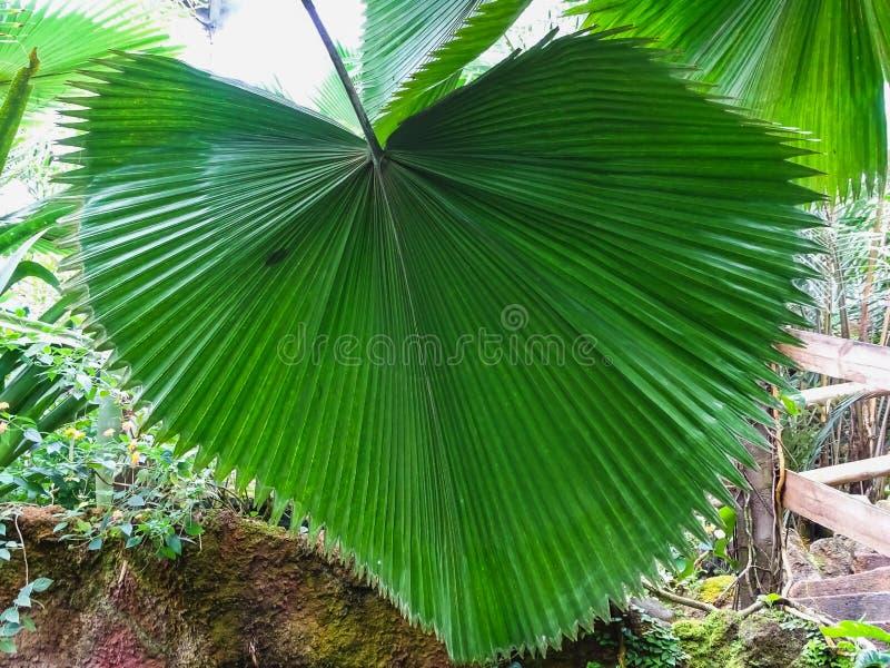 Uma folha de palmeira verde grande deu forma como um coração imagem de stock royalty free