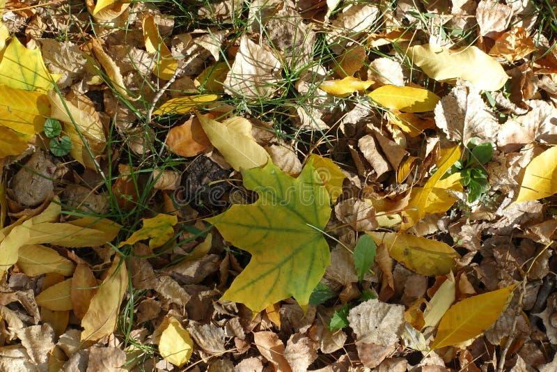 Uma folha do amarelo esverdeado do bordo na terra imagens de stock royalty free