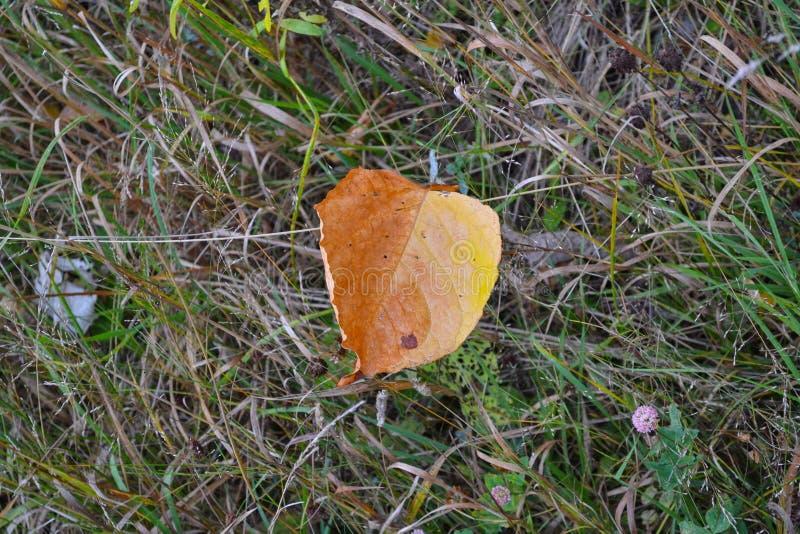 Uma folha do outono na grama imagem de stock