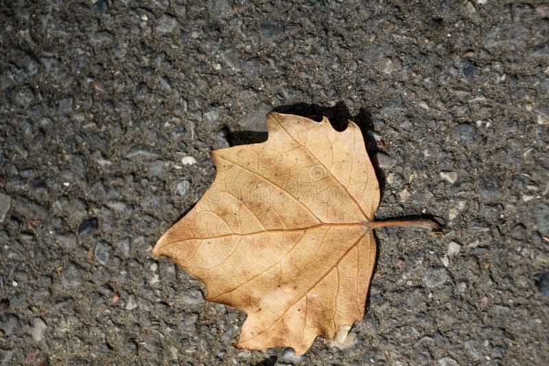 Download Uma folha seca separada foto de stock. Imagem de botany - 80102518