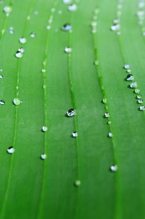 Uma folha verde-clara da palma da banana com veias e gotas da chuva Cl fotos de stock royalty free