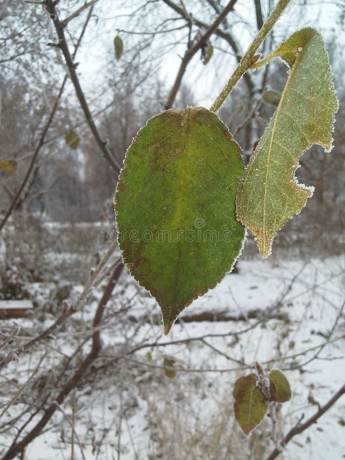 Uma folha verde de uma árvore coberta com os cristais de gelo freeze geada fotos de stock