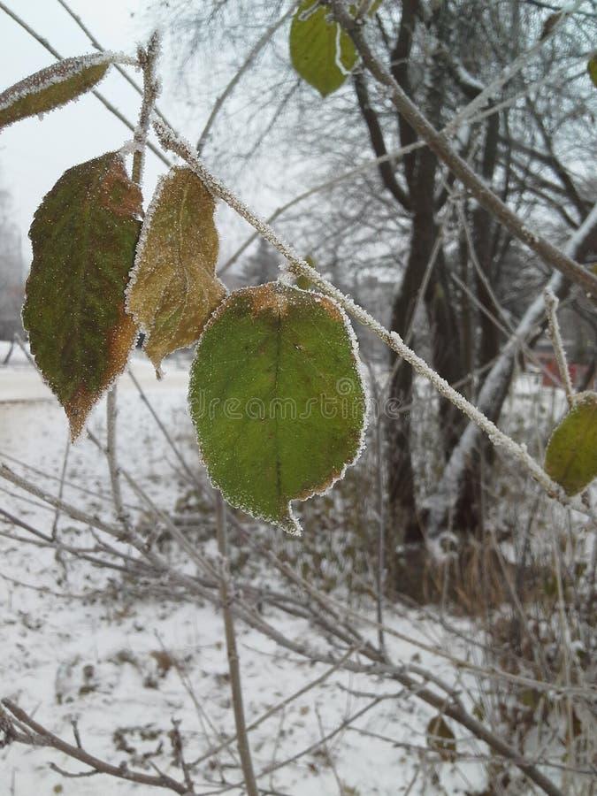 Uma folha verde de uma árvore coberta com os cristais de gelo freeze geada fotos de stock royalty free