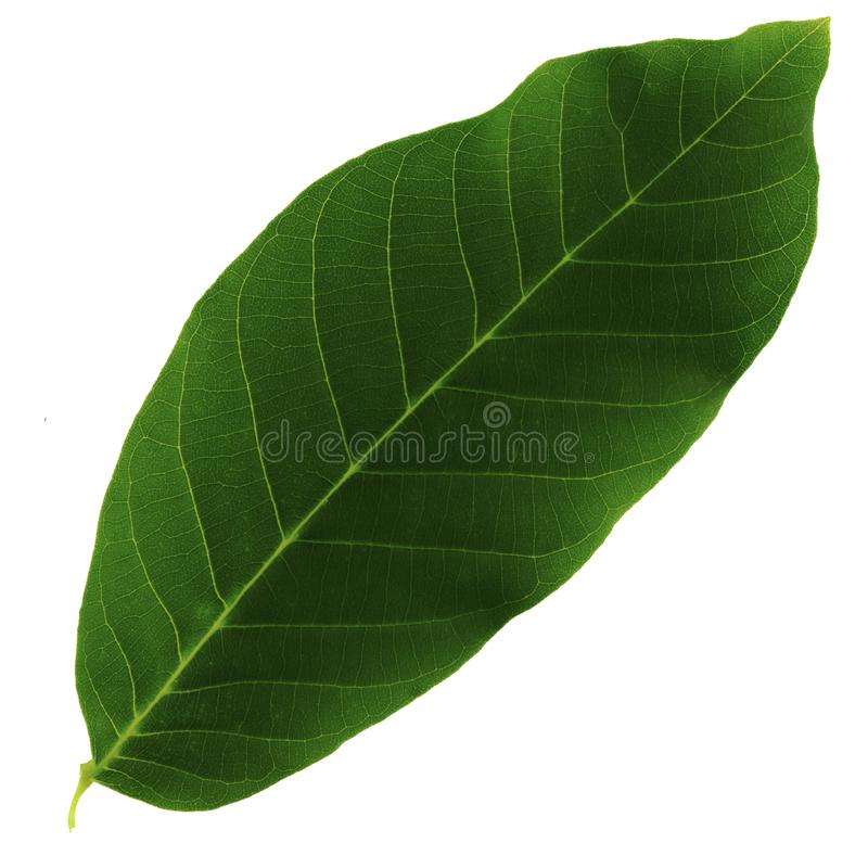 Uma folha verde de uma noz isolada em um fundo branco, o lado superior da folha foto de stock