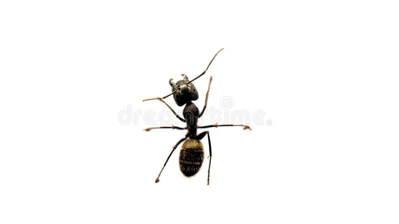 Uma formiga em um fundo branco foto de stock