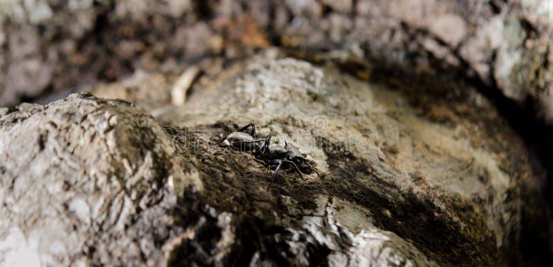 Uma formiga preta grande com gigante abriu as maxilas que olham forewards retos em você Apronte para morder fotos de stock