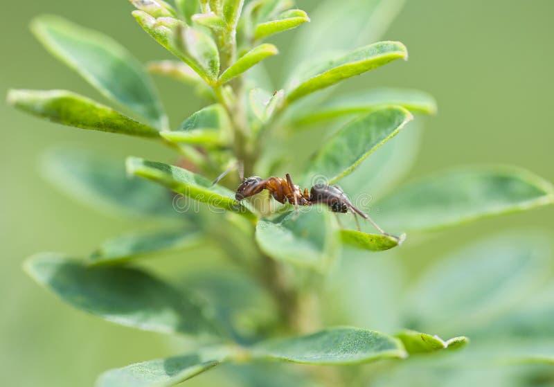Uma formiga solitária em uma parte de imagem de stock