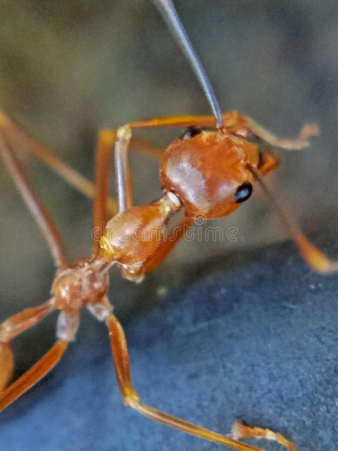 Uma formiga vermelha grande em uma árvore foto de stock