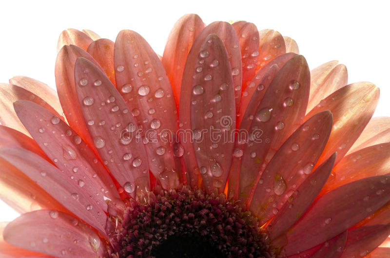 Uma foto detalhada de uma flor do Gerbera Flor do Gerbera da margarida de Barbeton foto de stock