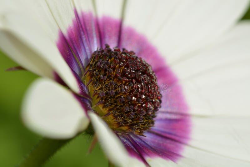 Uma foto do close-up de uma flor branca bonita do osteospermum, com detalhes afiados do centro roxo da flor foto de stock