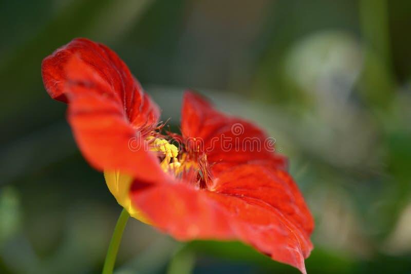 Uma foto do close-up de uma flor brilhante da chagas; ponto de vista incomum; cor vermelha e foco brilhantes nos detalhes do cent fotografia de stock royalty free