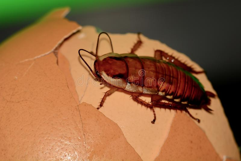 Uma foto macro de uma barata em algumas sucatas do alimento Um inseto desagradável, praga que infesta muitas casas fotos de stock royalty free