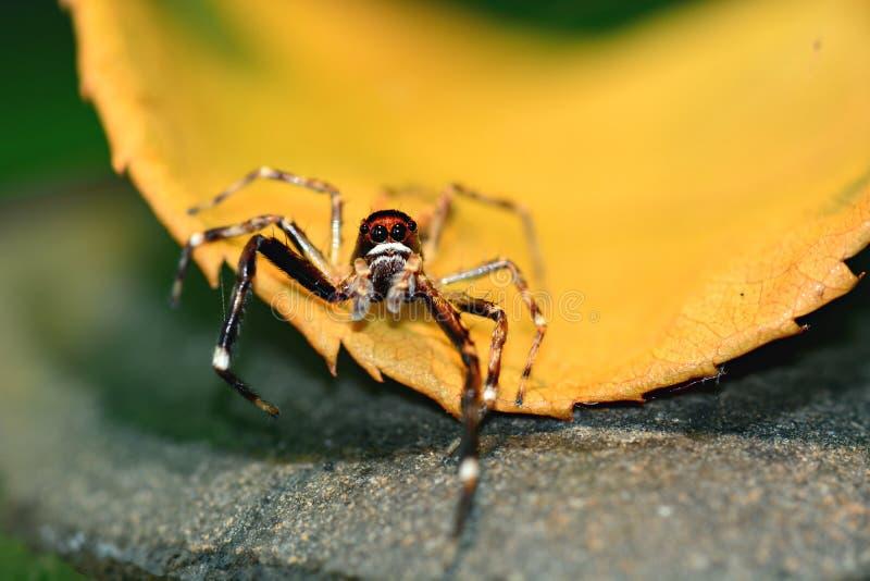 Uma foto macro de uma família de salto pequena de Salticidae da aranha, olhando em linha reta na câmera imagens de stock