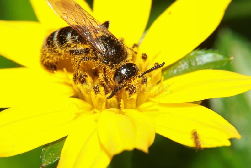 Uma foto macro de um grande zangão desgrenhado suga e recolhe o néctar de uma flor amarela brilhante do dente-de-leão foto de stock royalty free