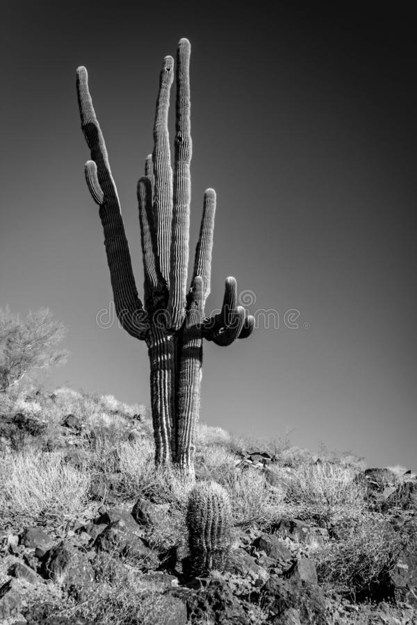 Uma foto preto e branco de um cacto só do Saguaro no lado de um monte do deserto imagens de stock