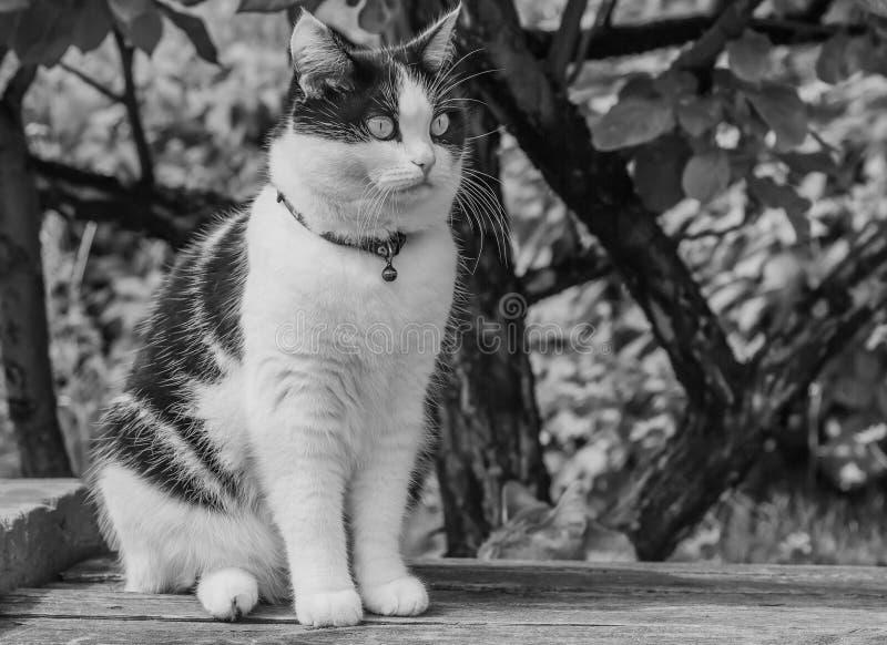 Uma foto preto e branco de um gato preto e branco novo adulto bonito com olhos grandes em uma superfície de madeira cinzenta foto de stock