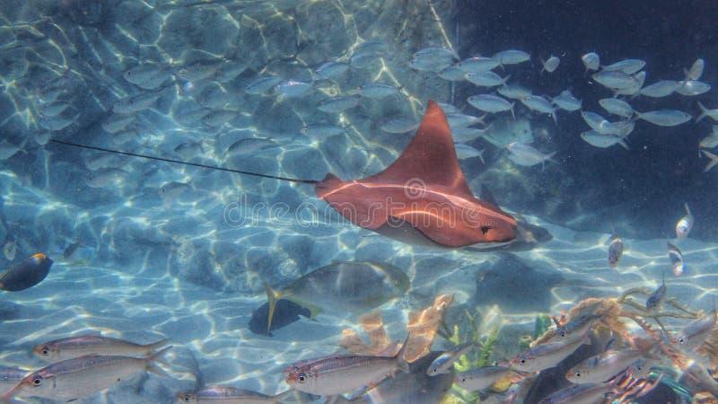 Uma foto subaquática de um Cownose Ray Swimming fotografia de stock royalty free