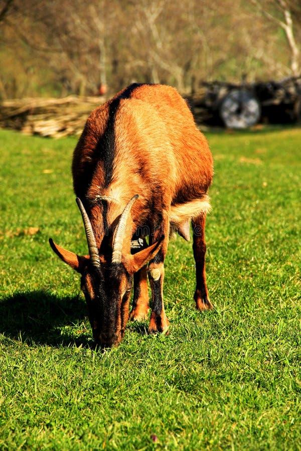 Uma fotografia de uma cabra imagens de stock royalty free