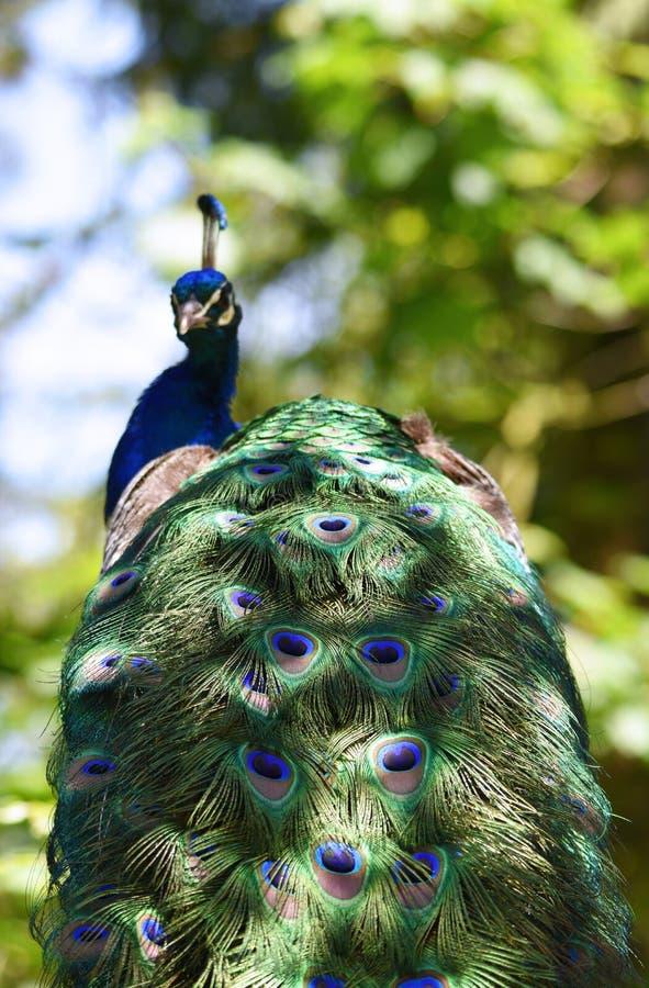 Uma fotografia do pavão com cores naturais foto de stock