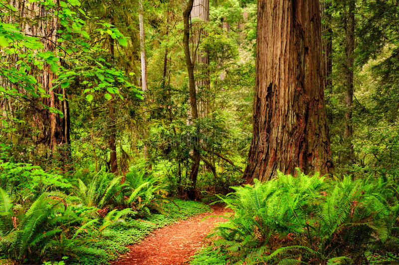 Uma fuga através da floresta da sequoia vermelha em Jedediah Smith Redwood Sta fotos de stock