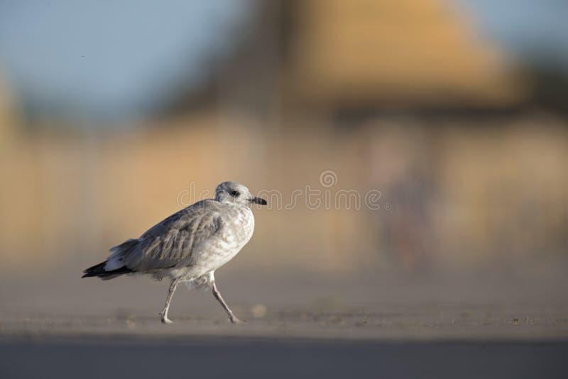 Uma gaivota comum juvenil ou da gaivota de miado canus do Larus que anda em um parque de estacionamento nos portos de Brema Alema foto de stock royalty free