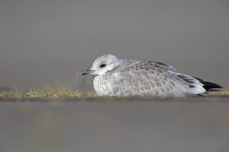 Uma gaivota comum juvenil ou da gaivota de miado canus do Larus que coloca na terra que descansa nos portos de Brema Alemanha fotografia de stock royalty free