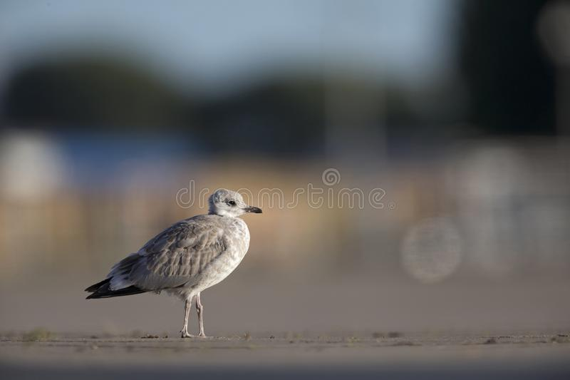 Uma gaivota comum juvenil ou da gaivota de miado canus do Larus que descansa em um parque de estacionamento nos portos de Brema A imagem de stock