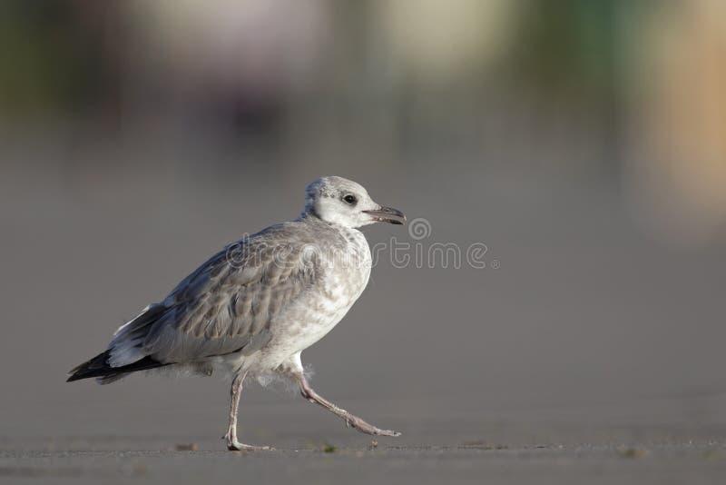 Uma gaivota comum juvenil ou da gaivota de miado canus do Larus que descansa em um parque de estacionamento nos portos de Brema A fotografia de stock