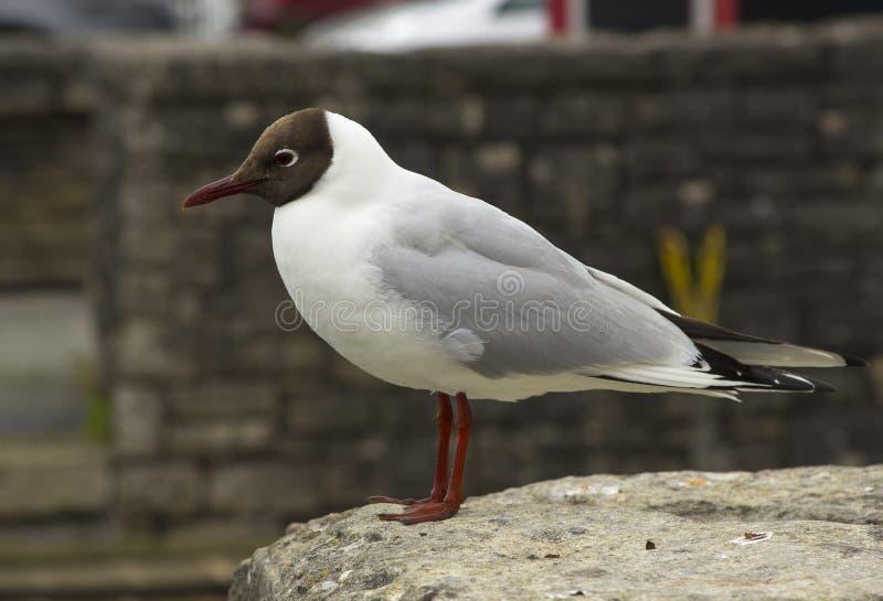 Uma gaivota de cabeça negra comum com seus marcações distintivas e pés vermelhos Esta espécie é muito comum em todas as partes do imagens de stock