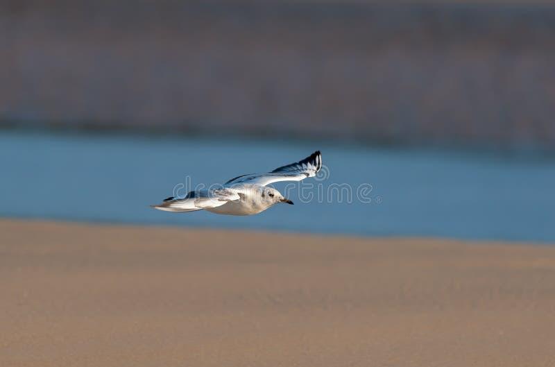 Uma gaivota de cabeça negra em voo na praia imagem de stock royalty free