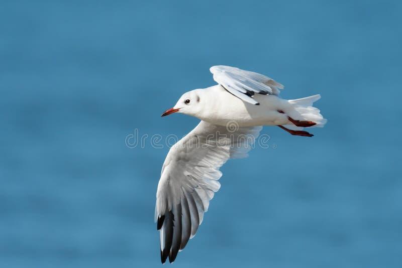 Uma gaivota de cabeça negra em voo na praia fotos de stock royalty free