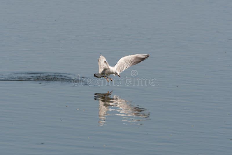 Uma gaivota de cabeça negra flutuando sobre uma lagoa imagem de stock royalty free