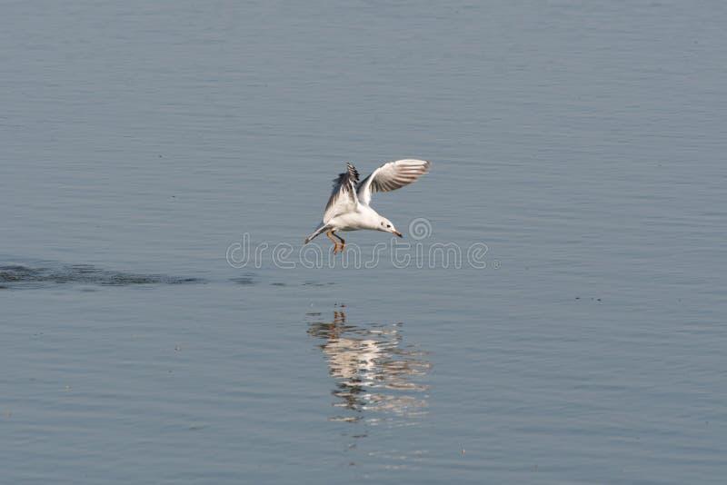 Uma gaivota de cabeça negra flutuando sobre uma lagoa fotografia de stock royalty free