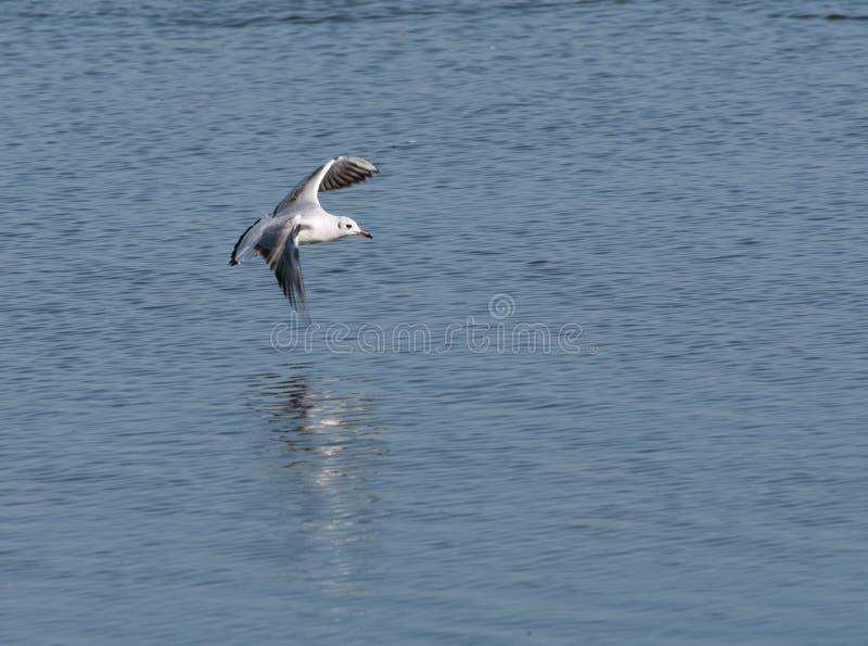 Uma gaivota de cabeça negra flutuando sobre uma lagoa imagens de stock royalty free