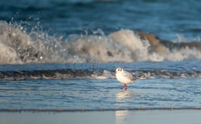 Uma gaivota de cabeça negra na praia na frente de uma onda de esmagamento fotos de stock royalty free
