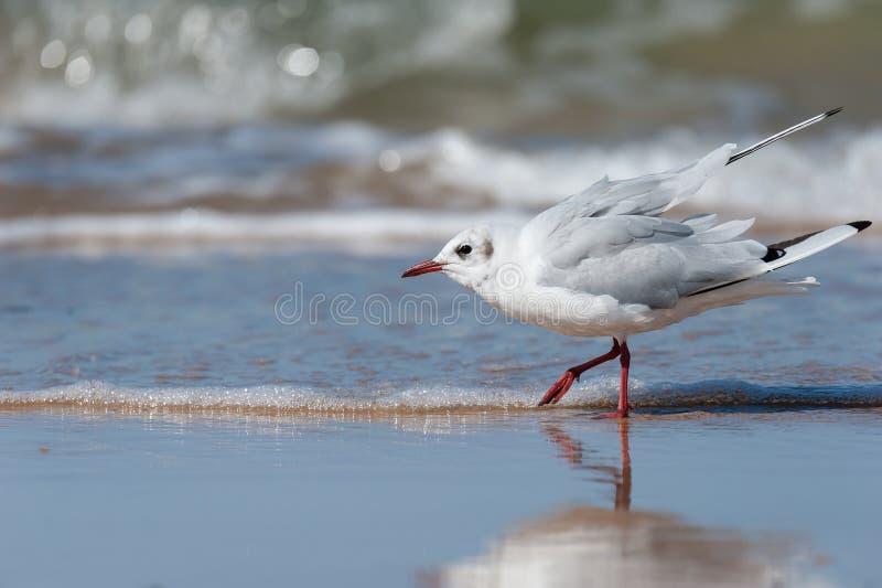 Uma gaivota de cabeça negra que anda na praia foto de stock royalty free