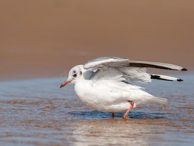 Uma gaivota de cabeça negra que banha-se na praia em uma poça da água imagens de stock