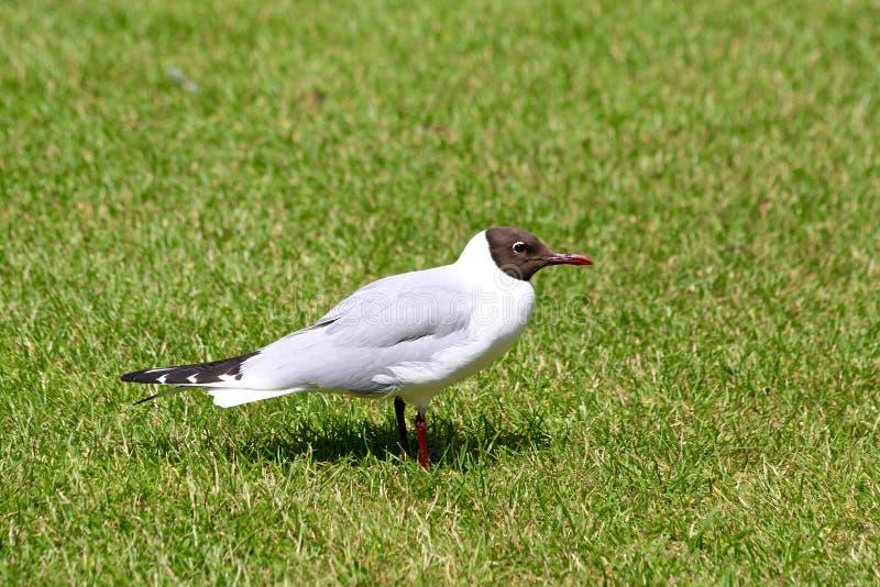 Uma gaivota de cabeça negra que está na grama imagens de stock