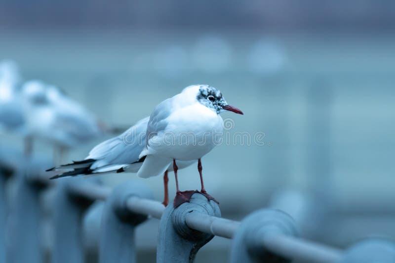 Uma gaivota de cabeça negra que senta-se em uns trilhos fotos de stock royalty free