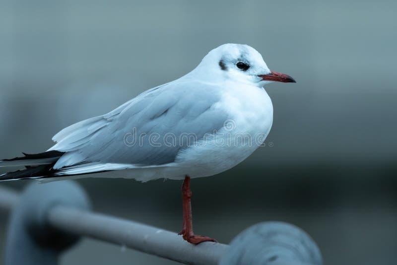 Uma gaivota de cabeça negra que senta-se em uns trilhos foto de stock
