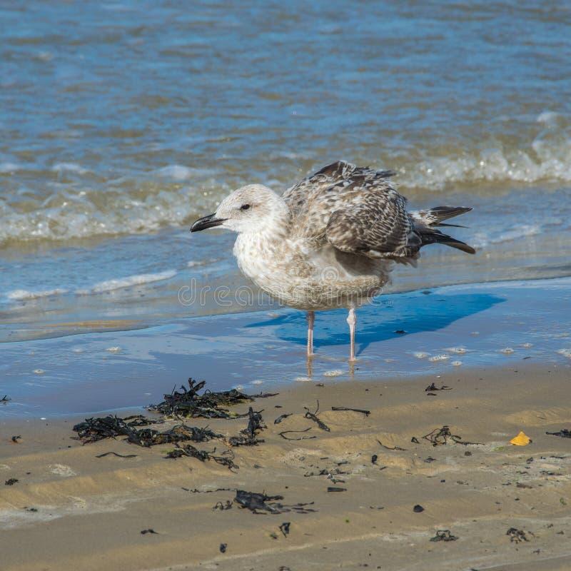 Uma gaivota de prata, argentatus do Larus, estando na água pouco profunda fotos de stock royalty free