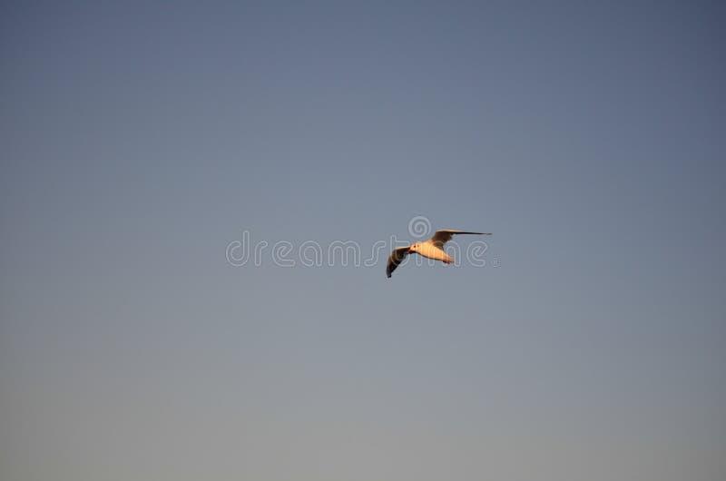 Uma gaivota de prata em voo sobre a praia de Aspendale, Melbourne, Austrália imagens de stock