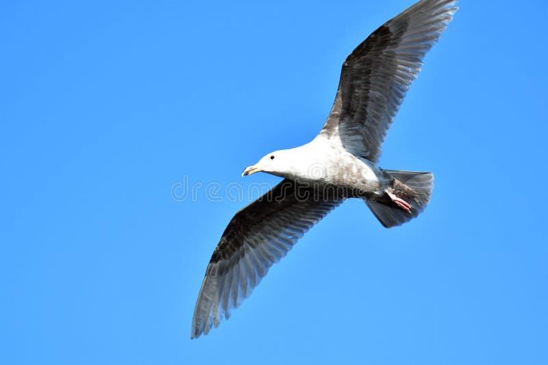 Uma gaivota do voo no c?u closeup imagem de stock royalty free