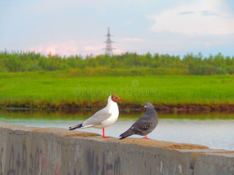 Uma gaivota e um pombo que sentam-se em um parapeito da terraplenagem foto de stock royalty free