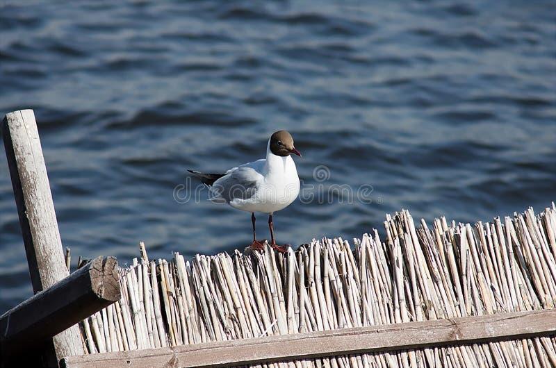 Uma gaivota est? sentando-se na cerca no fundo da ?gua imagem de stock royalty free