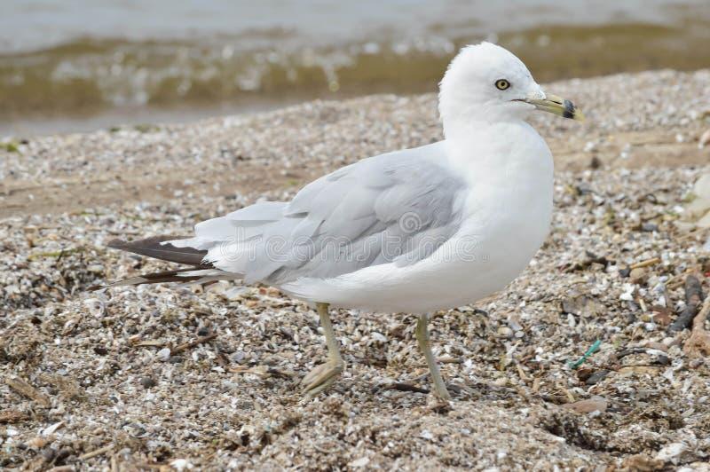 Uma gaivota na baía de Maumee, Ohio foto de stock